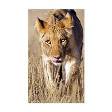 African lion male juvenile Decal
