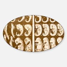 1874 Ernst Haeckel Embryo drawings Sticker (Oval)
