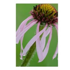 Coneflower in the Rain Postcards (Package of 8)