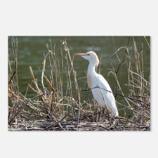 Cattle Egret Postcards (Package of 8)