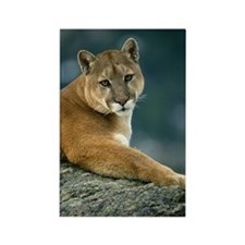 COUGAR IN WESTERN MONTANA Rectangle Magnet