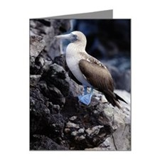 BLUE FOOTED BOOBY, GALAPAGOS Note Cards (Pk of 20)