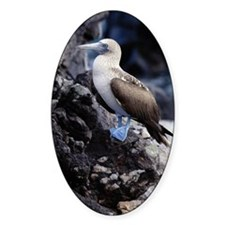 BLUE FOOTED BOOBY, GALAPAGOS ISLAND Decal