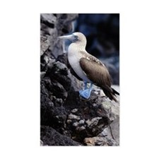 BLUE FOOTED BOOBY, GALAPAGOS I Decal