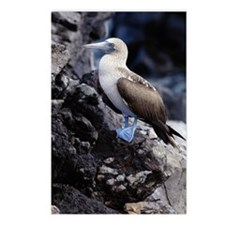 BLUE FOOTED BOOBY, GALAPA Postcards (Package of 8)
