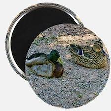 domestic ducks Magnet