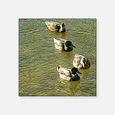 "sychronized swimming ducks Square Sticker 3"" x 3"""
