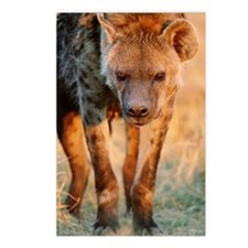 Spotted hyena Crocuta cro Postcards (Package of 8)