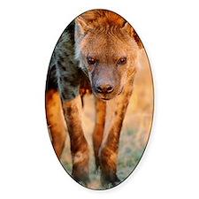 Spotted hyena Crocuta crocuta, clos Decal