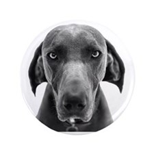 "Blue weimaraner dog staring 3.5"" Button"