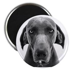 Blue weimaraner dog staring Magnet