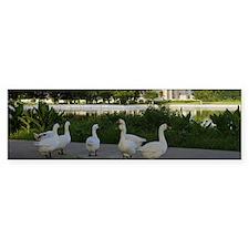 Ducks near a pond, Victoria Memor Bumper Sticker