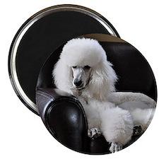 White standard poodle  Magnet