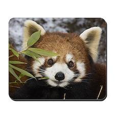 Red panda eating bamboo, Wolong, China Mousepad