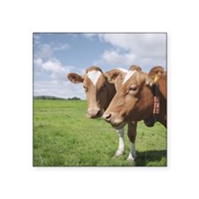 "Guernsey cows Square Sticker 3"" x 3"""
