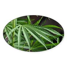 Cannabis Garden Decal