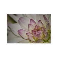 Blushing Pink Dahlia Rectangle Magnet