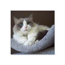 "Ragdoll cat (blue bicolor) Square Sticker 3"" x 3"""