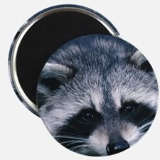 Cute Raccoon Magnet