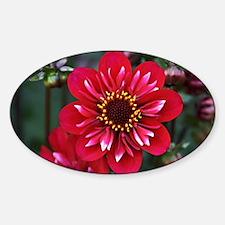 Dahlia Hootenanny Sticker (Oval)