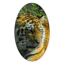 Amur Tiger Cub Decal