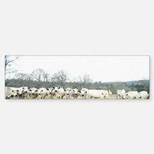 British White Cow Herd on the Fen Bumper Bumper Sticker