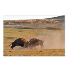 Bulls Clash in Wind Cave  Postcards (Package of 8)