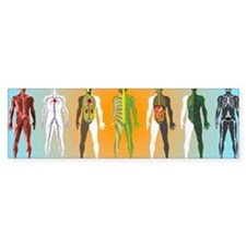 Human anatomy ,artwork Bumper Sticker