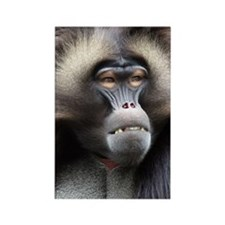 Gelada Baboon Rectangle Magnet