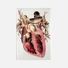 Human heart, anatomical artwork Rectangle Magnet