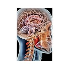 Internal brain anatomy, artwork Rectangle Magnet