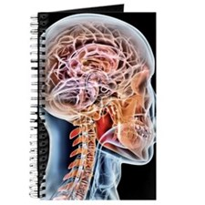 Internal brain anatomy, artwork Journal