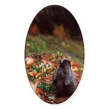 Hoary marmot Decal