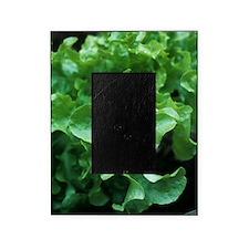 Organic lettuce (Lactuca 'Salad Bowl Picture Frame
