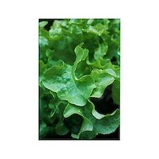Organic lettuce (Lactuca 'Salad B Rectangle Magnet