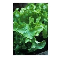 Organic lettuce (Lactuca  Postcards (Package of 8)
