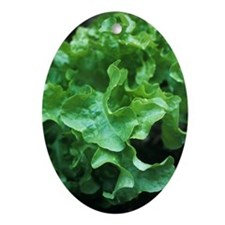 Organic lettuce (Lactuca 'Salad Bowl Oval Ornament
