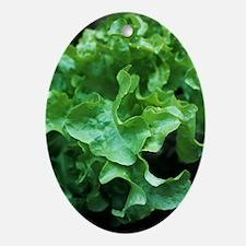 Organic lettuce (Lactuca 'Salad Bowl Oval Ornament