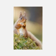 Red squirrel feeding Rectangle Magnet