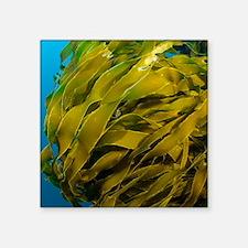 "Strap kelp Square Sticker 3"" x 3"""