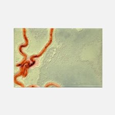 Syphilis bacterium, TEM Rectangle Magnet