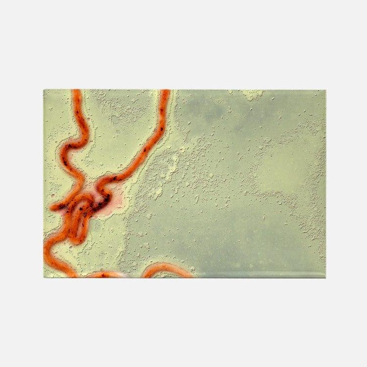 Syphilis bacterium, TEM Rectangle Magnet