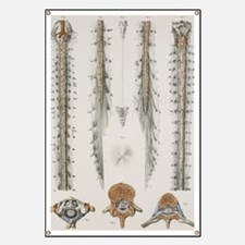 Spinal cord anatomy, 1844 artwork Banner