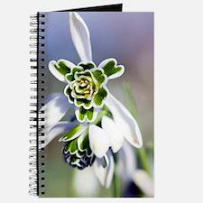 Snowdrop (Galanthus 'Titania') Journal