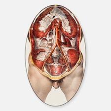 Abdominal aorta Decal