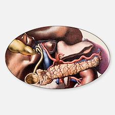 Abdominal organs Decal