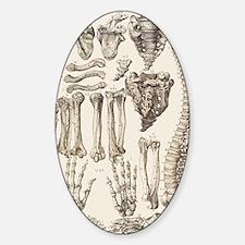 Bones of the human skeleton Sticker (Oval)