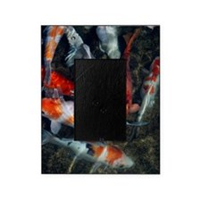 Koi carp in a pond Picture Frame