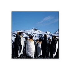 "King penguins Square Sticker 3"" x 3"""