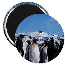 King penguins Magnet